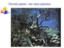 Ебенове дерево - має чорну деревину