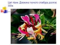 Цвіт ліани. Довжина гнучкого стовбура досягає 300м.