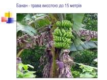 Банан - трава висотою до 15 метрів