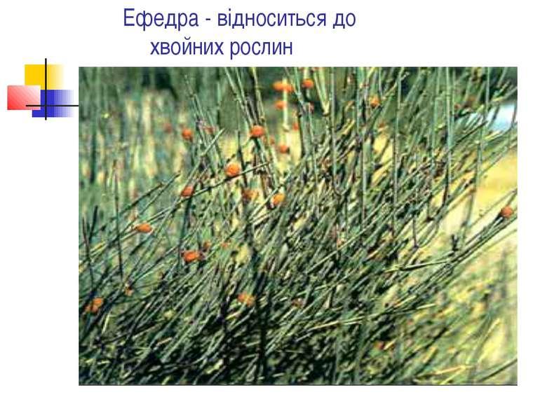 Ефедра - відноситься до хвойних рослин