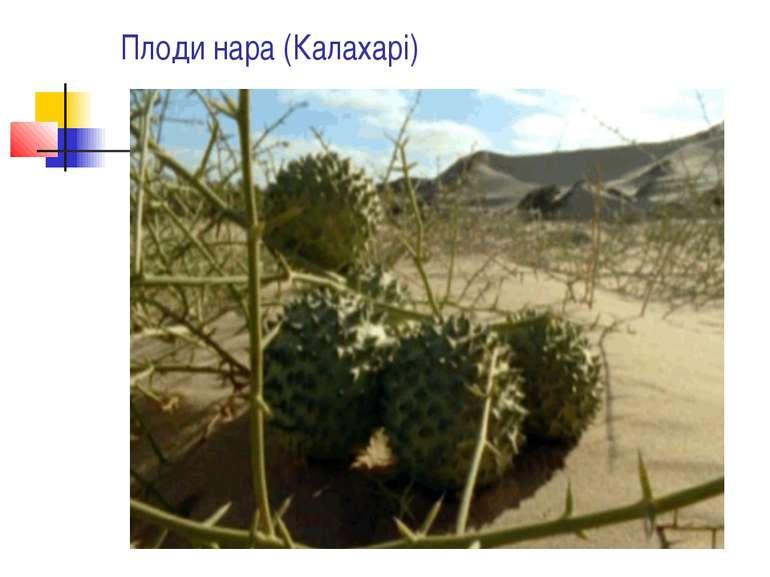 Плоди нара (Калахарі)