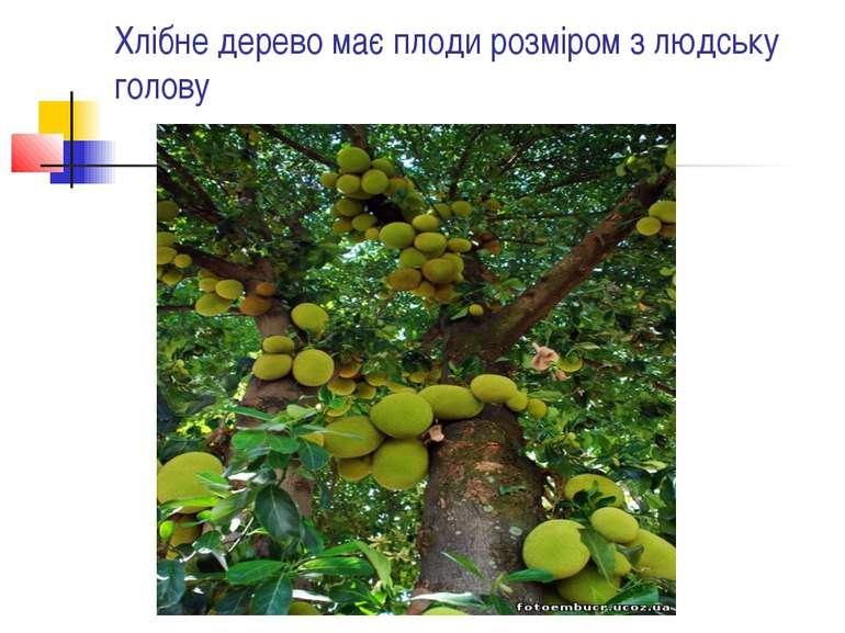 Хлібне дерево має плоди розміром з людську голову