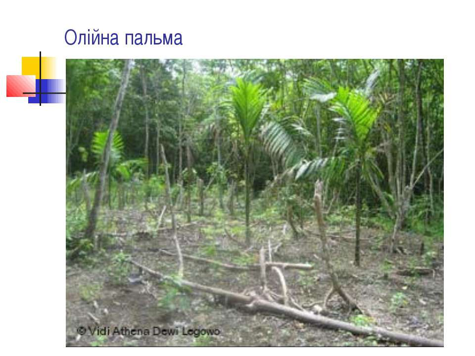 Олійна пальма