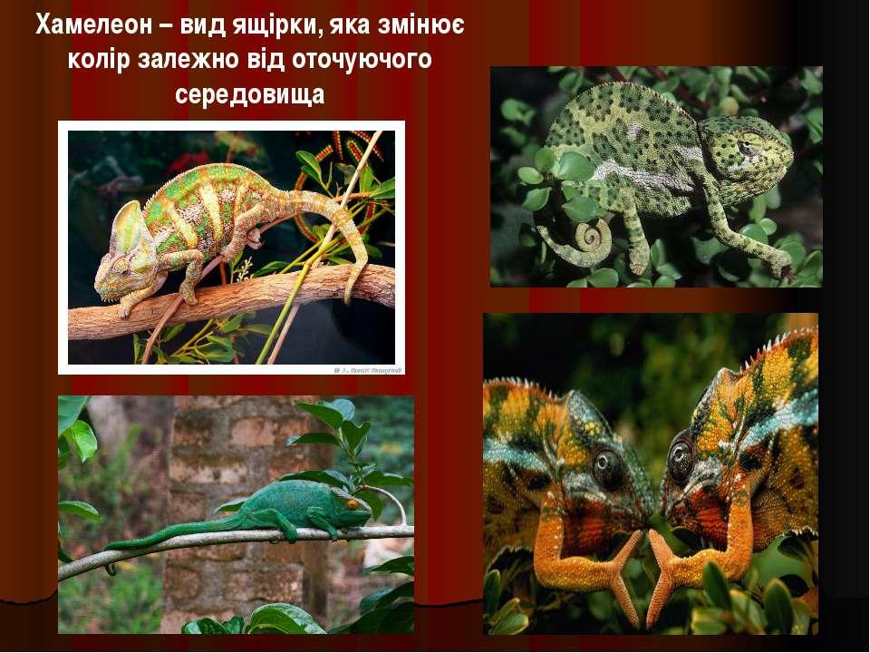 Хамелеон – вид ящірки, яка змінює колір залежно від оточуючого середовища