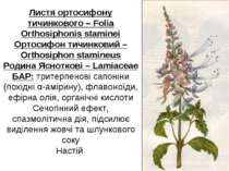 Листя ортосифону тичинкового – Folia Orthosiphonis staminei Ортосифон тичинко...