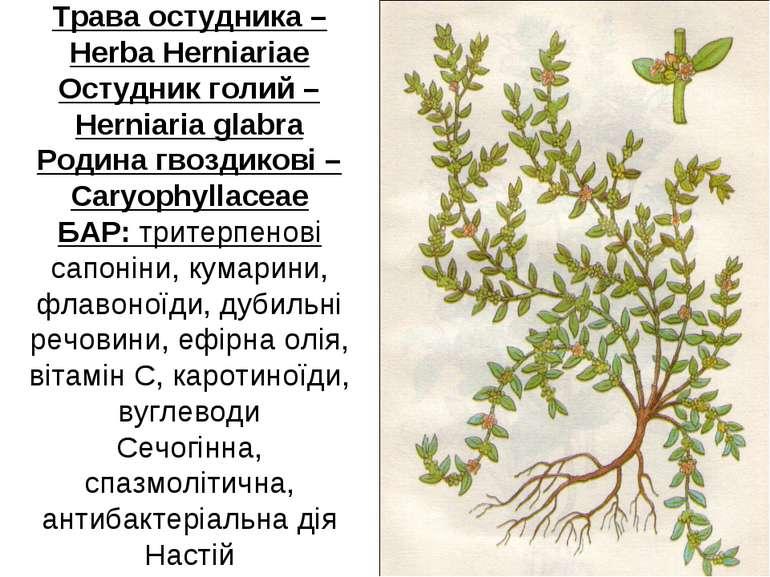 Трава остудника – Herba Herniariae Остудник голий – Herniaria glabra Родина г...