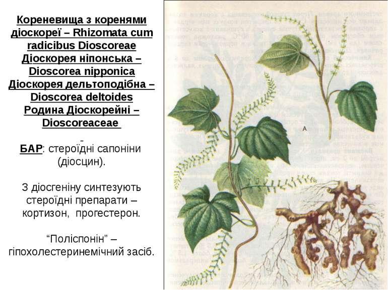 Кореневища з коренями діoскореї – Rhizomata cum radicibus Dioscoreae Діoскоре...