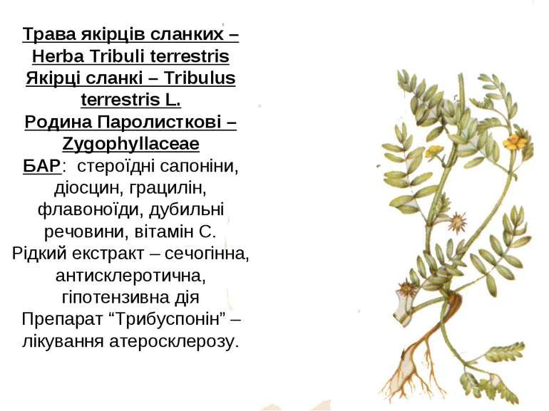 Трава якірців сланких – Herba Tribuli terrestris Якірці сланкі – Tribulus ter...