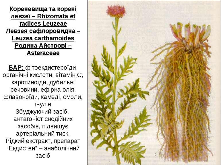 Кореневища та корені левзеї – Rhizomata et radices Leuzeae Левзея сафлоровидн...