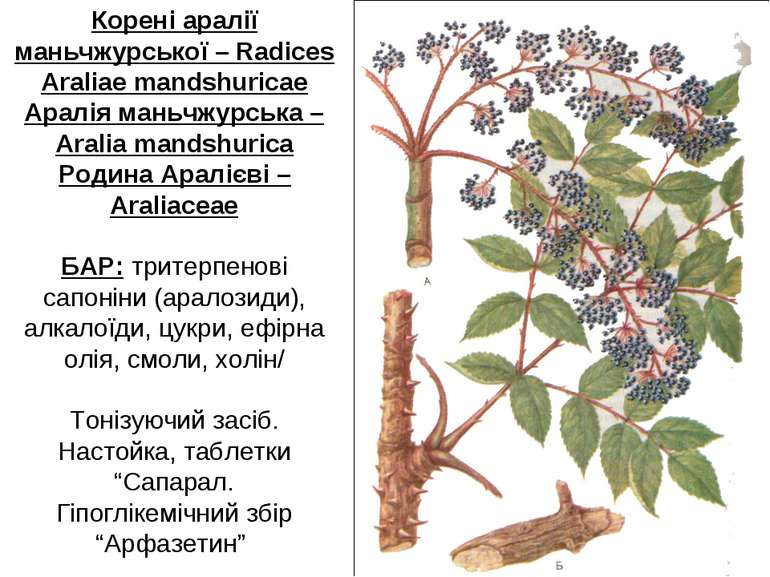 Корені аралії маньчжурської – Radices Araliae mandshuricae Аралія маньчжурськ...