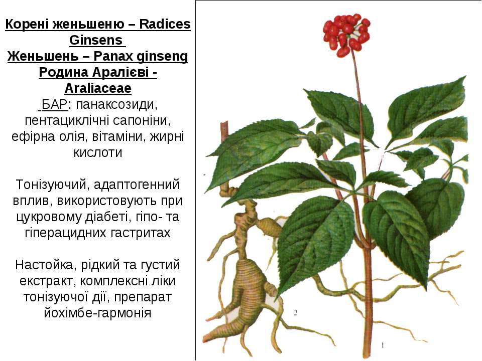 Корені женьшеню – Radiсes Ginsens Женьшень – Panax ginseng Родина Аралієві - ...