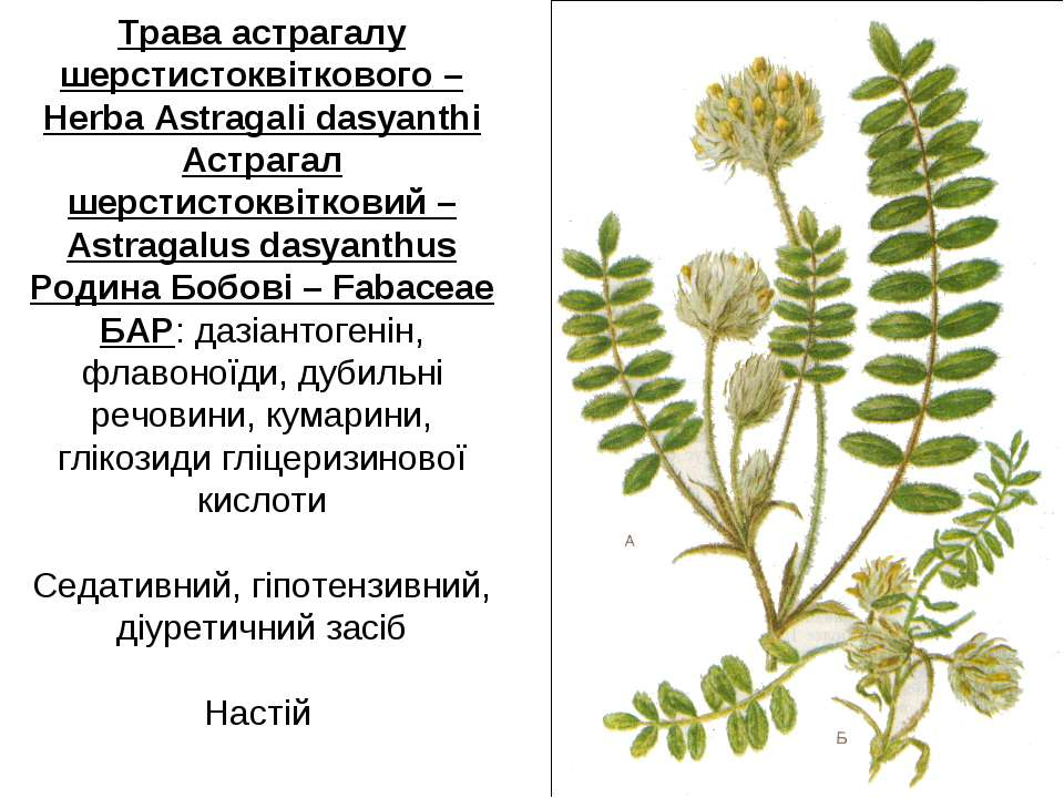 Трава астрагалу шерстистоквіткового – Herba Astragali dasyanthi Астрагал шерс...