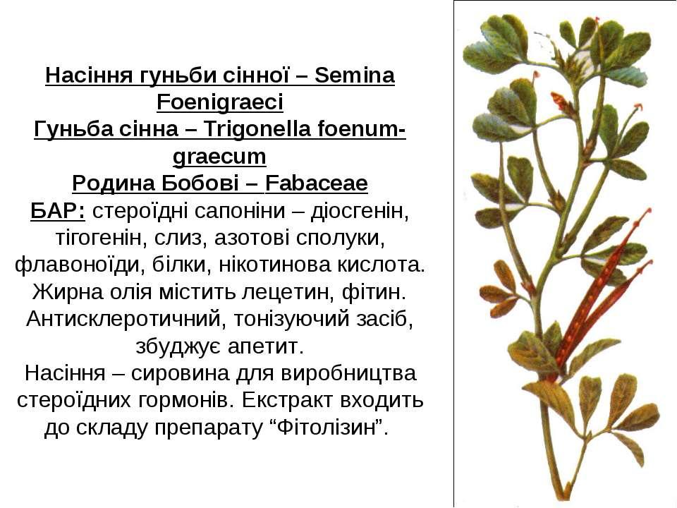 Насіння гуньби сінної – Semina Foenigraeci Гуньба сінна – Trigonella foenum-g...