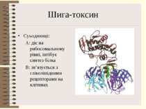 Шига-токсин Суьодиниці: A: діє на рибосомальному рівні, інгібує синтез білка ...