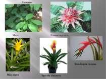 Мате Ехмея смугаста Нідулярія Вріезія кілевата Більбергія чудова Рослини: