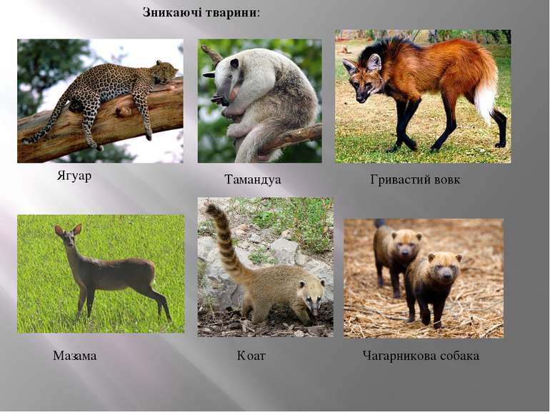 Зникаючі тварини: Ягуар Тамандуа Гривастий вовк Мазама Коат Чагарникова собака