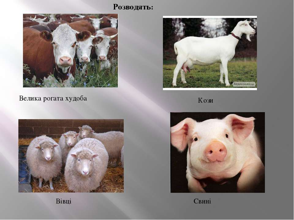 Розводять: Велика рогата худоба Кози Свині Вівці