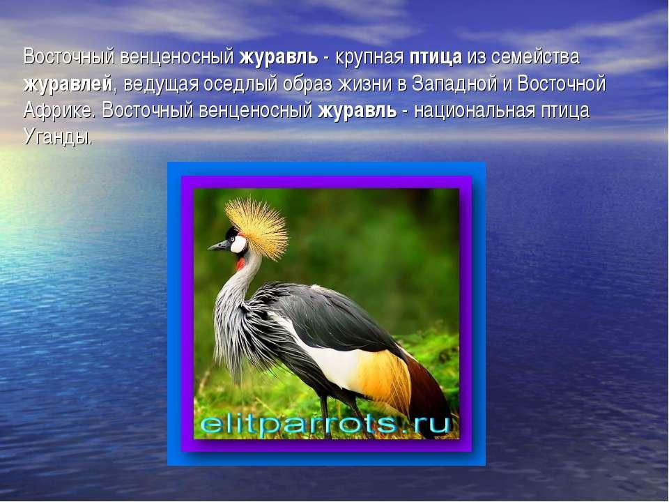 Восточный венценосный журавль - крупная птица из семейства журавлей, ведущая ...