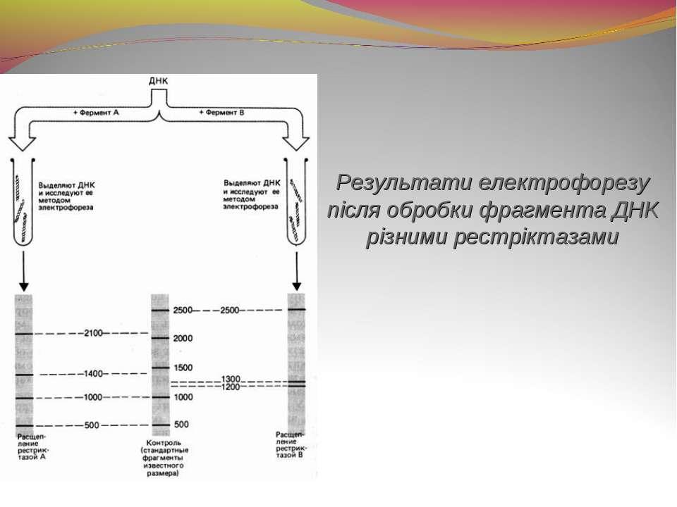 Результати електрофорезу після обробки фрагмента ДНК різними рестріктазами