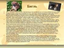 Бигль Бигль - охотничья гончая в Англии, старинная порода, использовавшаяся н...