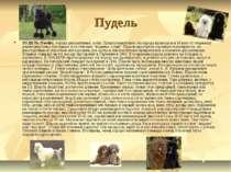 Пудель ПУДЕЛЬ (Poodle), порода декоративных собак. Предположительно эта пород...