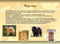 Чау-чау ЧАУ-ЧАУ (Chow Chow), порода служебных и декоративных собак; известна ...