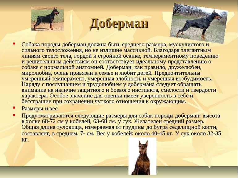 Доберман Собака породы доберман должна быть среднего размера, мускулистого и ...