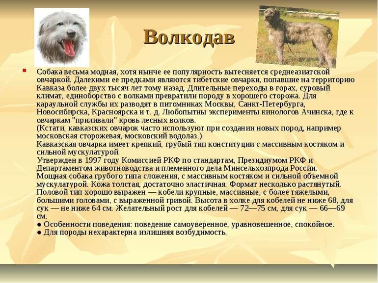 Волкодав Собака весьма модная, хотя нынче ее популярность вытесняется среднеа...