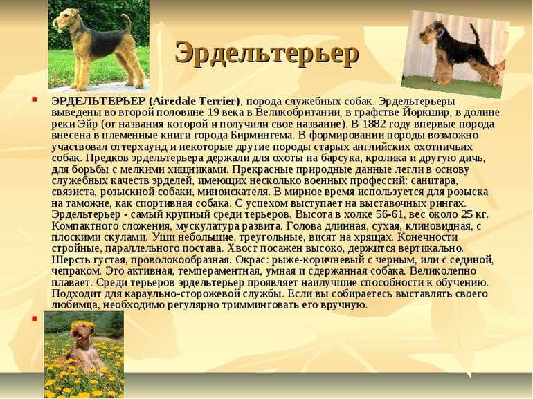 Эрдельтерьер ЭРДЕЛЬТЕРЬЕР (Airedale Terrier), порода служебных собак. Эрдельт...