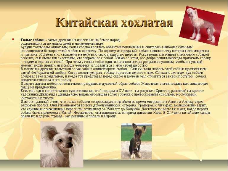 Китайская хохлатая Голые собаки - самые древние из известных на Земле пород,...