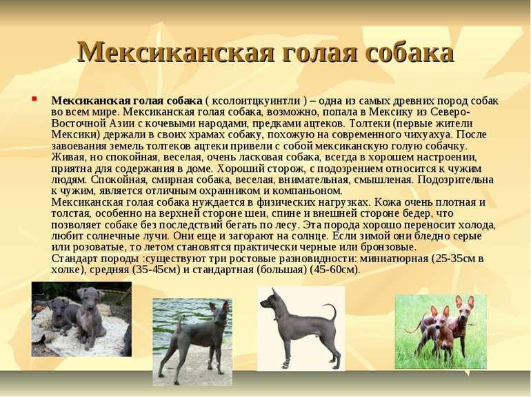 Мексиканская голая собака Мексиканская голая собака ( ксолоитцкуинтли ) – одн...