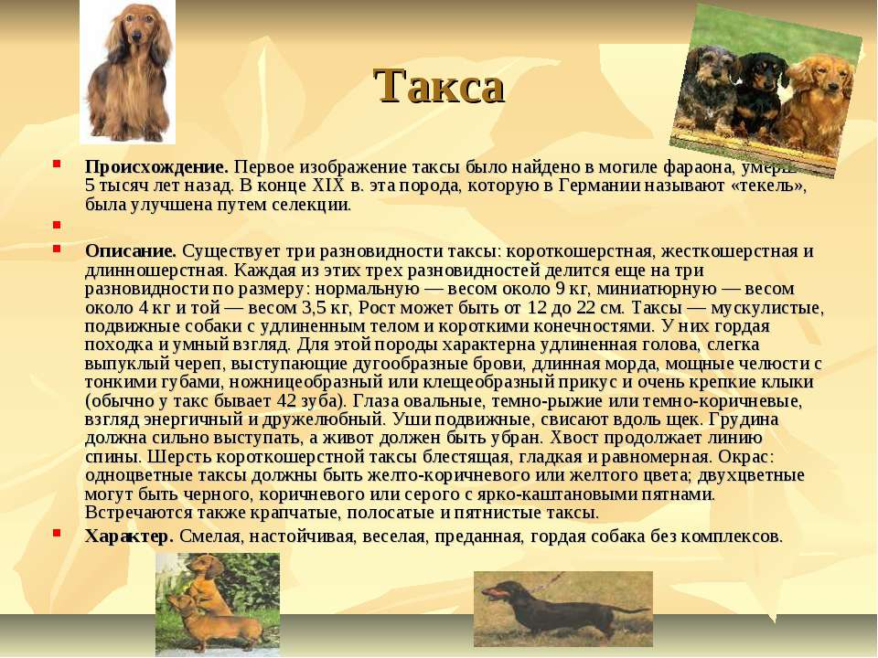 Такса Происхождение.Первое изображение таксы было найдено в могиле фараона, ...