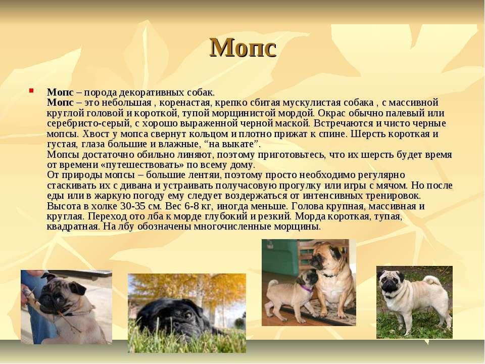 Мопс Мопс – порода декоративных собак. Мопс – это небольшая , коренастая, кре...