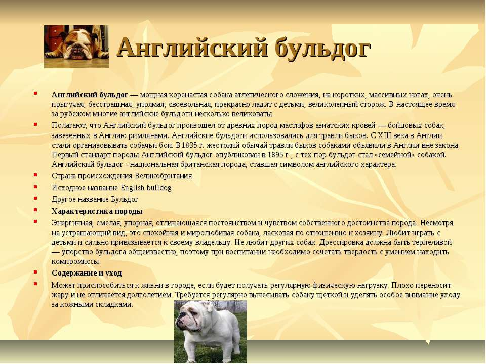 Английский бульдог Английский бульдог — мощная коренастая собака атлетическог...