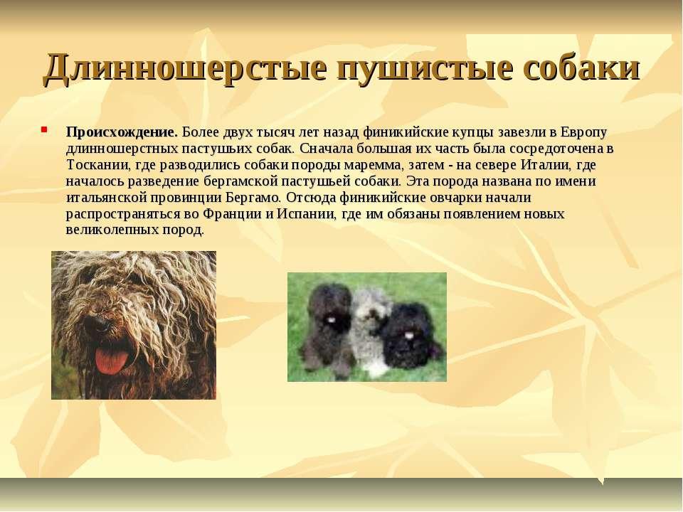 Длинношерстые пушистые собаки Происхождение. Более двух тысяч лет назад финик...