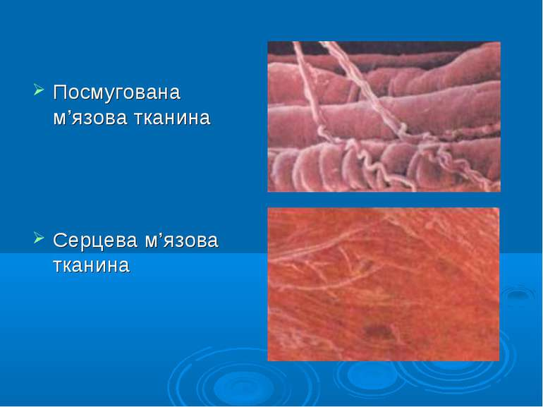 Посмугована м'язова тканина Серцева м'язова тканина
