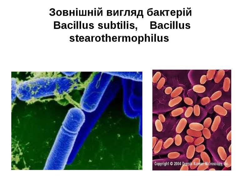Зовнішній вигляд бактерій Bacillus subtilis, Bacillus stearothermophilus