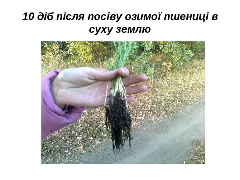 10 діб після посіву озимої пшениці в суху землю