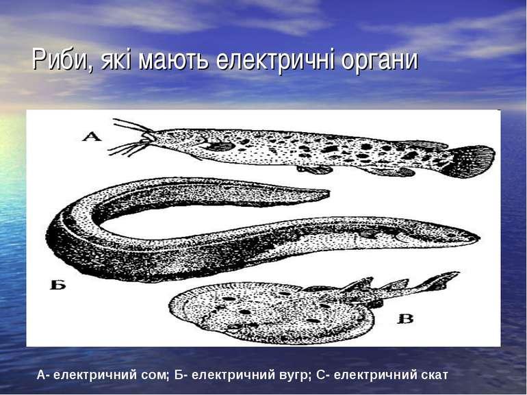 Риби, які мають електричні органи А- електричний сом; Б- електричний вугр; С-...