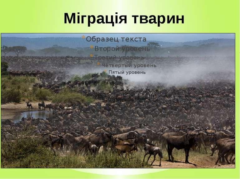 Міграція тварин