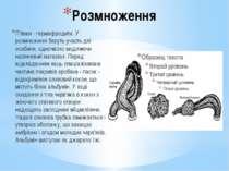 Розмноження П'явки - гермафродити. У розмноженні беруть участь дві особини, о...