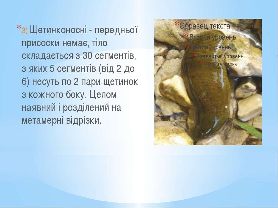 3) Щетинконосні - передньої присоски немає, тіло складається з 30 сегментів, ...
