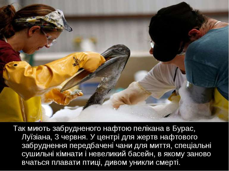 Так миють забрудненого нафтою пелікана в Бурас, Луїзіана, 3 червня. У центрі ...