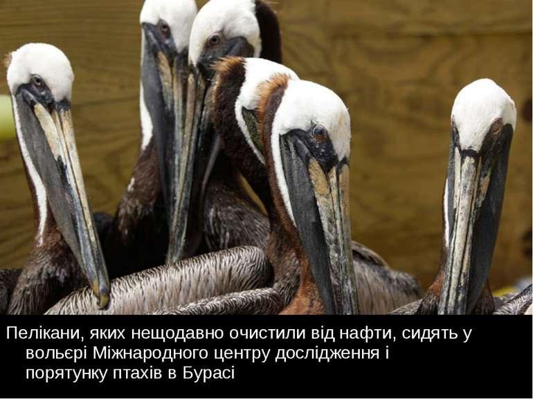 Пелікани, яких нещодавно очистили від нафти, сидять у вольєрі Міжнародного це...