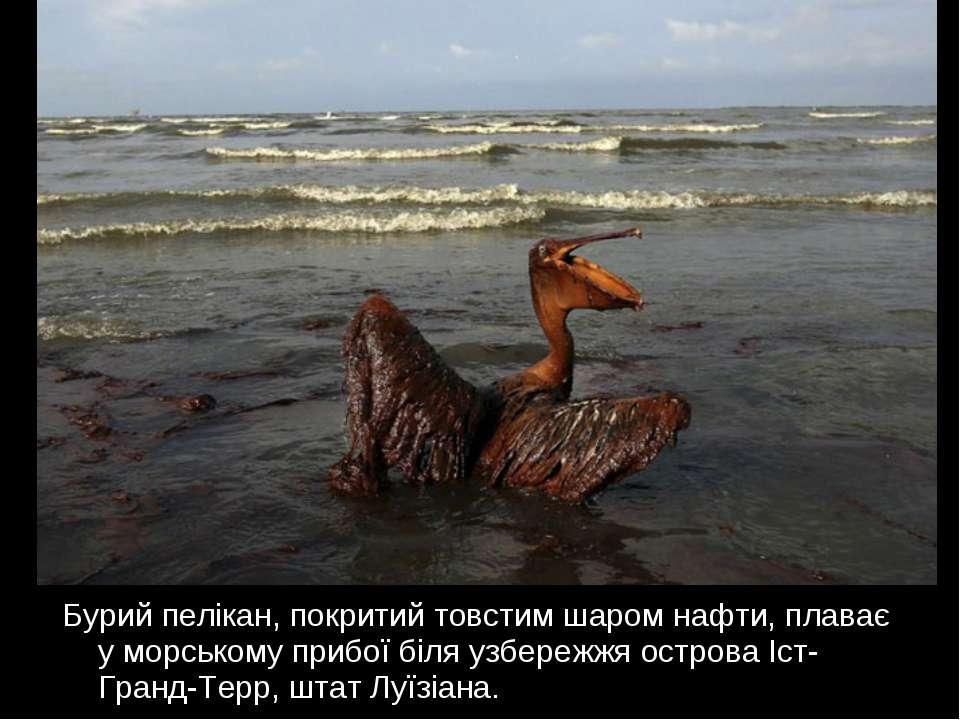 Бурий пелікан, покритий товстим шаром нафти, плаває у морському прибої біля у...