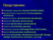 Представники: аскарида людська (Ascaris lumbricoides) волосоголов людський (T...