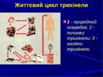 Життєвий цикл трихінели 1 - природний осередок; 2 - личинки трихінели; 3 - ха...