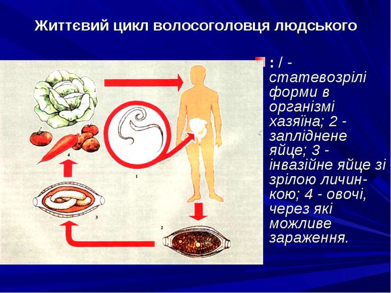 Життєвий цикл волосоголовця людського : / - статевозрілі форми в організмі ха...