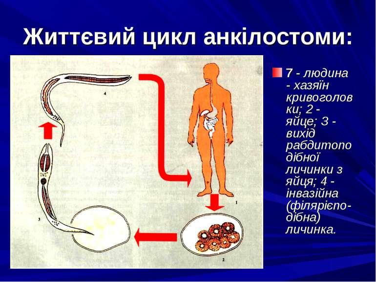 Життєвий цикл анкілостоми: 7 - людина - хазяїн кривоголовки; 2 - яйце; З - ви...