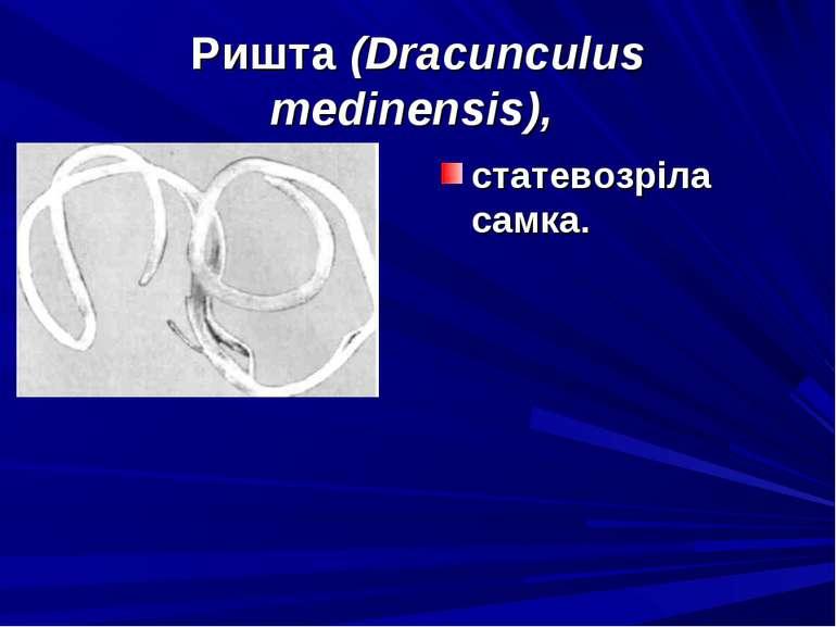 Ришта (Dracunculus medinensis), статевозріла самка.
